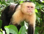 Capuchin monkeys reject unequal pay