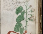 Has a botanist solved the mystery of the Voynich Manuscript?