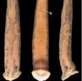 Newly discovered leech named for Amy Tan